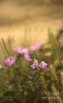 Angel  Tarantella - Spanish meadow
