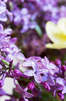 Sparkling Lilacs covered in rain drops by Dana Moyer