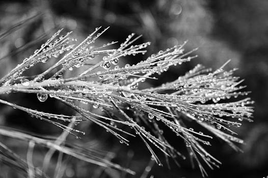 Robin Mahboeb - sparkling pine