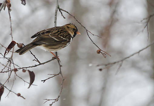 Sparrow in the Snow II by Lisa Moore