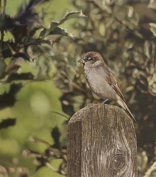 Sparrow On Fence by Alberto Ponno