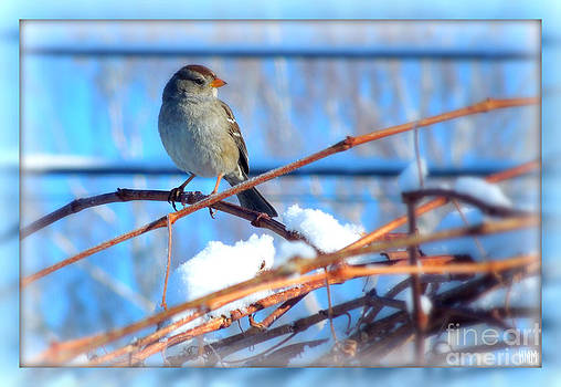 Sparrow on grapevine by Heidi Manly