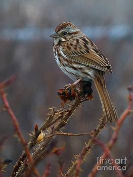 Christine Stack - Sparrow on Winter Branches