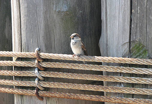 Sparrow Sitting on String in the Sun by David Armstrong