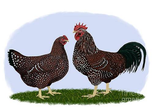 Speckled Sussex Rooster and Heb by Leigh Schilling