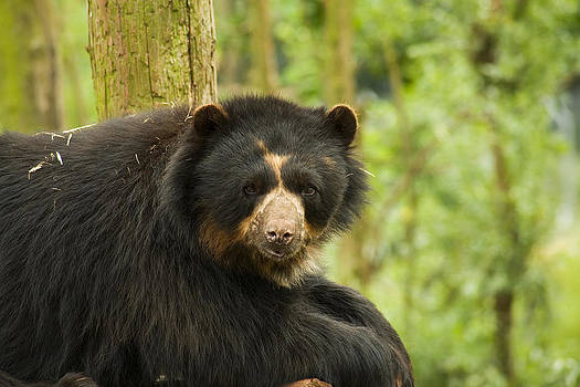 Spectacled Bear by Gillian Dernie