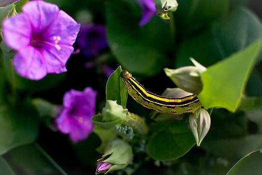 Sphinx Moth Caterpillar by Swift Family