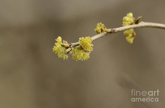 Spicebush Bloom by Randy Bodkins