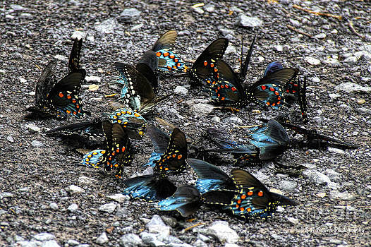 Barbara Bowen - Spicebush Swallowtails puddling