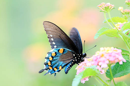 Spicebush Swallowtail Butterfly by Lorri Crossno
