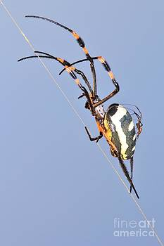 Hermanus A Alberts - Spider Motherly Love and Transport