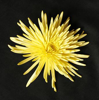 Bonnie Davidson - Spider Mum Yellow