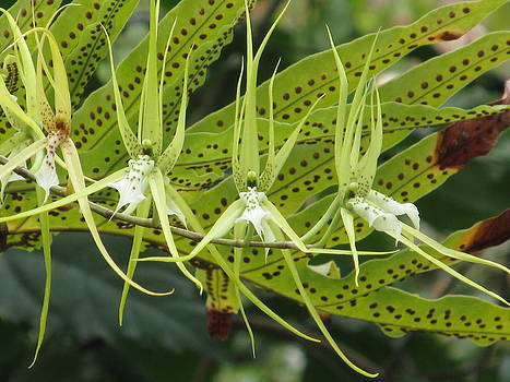 Alfred Ng - spider orchid