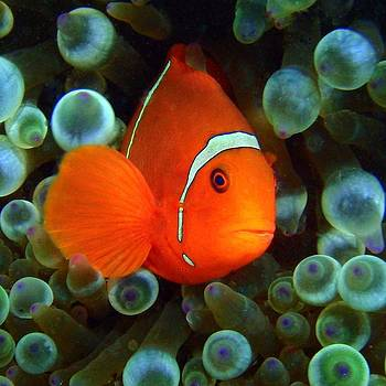 Spinecheek anemone fish by Martha Lyle