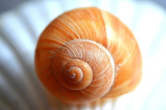 Spiral Shell2 by Riad Belhimer