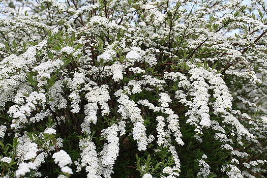 Mark Severn - spirea