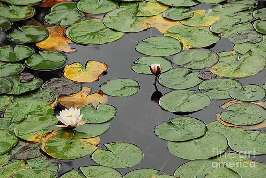 Spirit Lake Lillies by Sam Rosen
