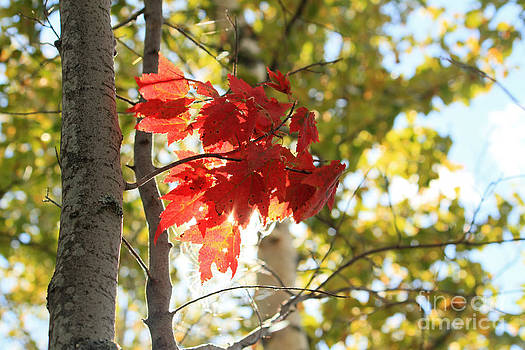Splash of Red Leaves by Denise Lilly