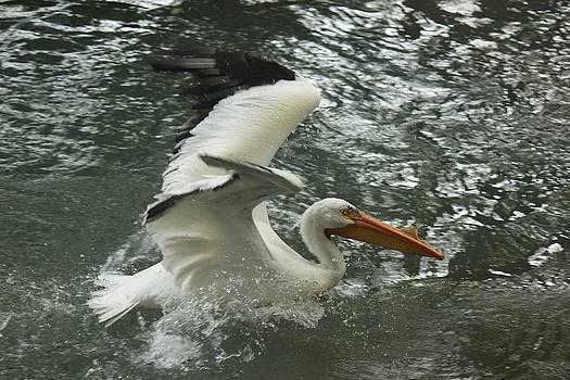 Splashing Pelican by Bonita Hensley