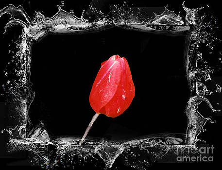 Linda Rae Cuthbertson - Splashy Red Tulip