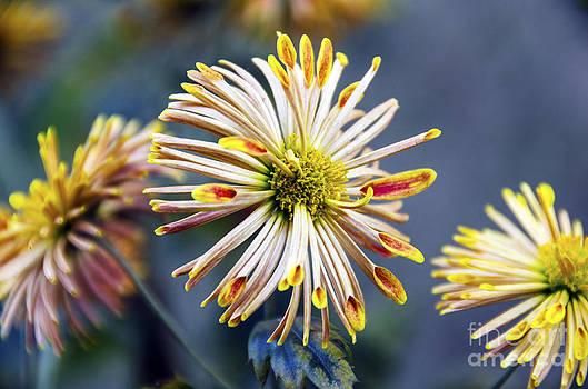 Pravine Chester - Spoon Chrysanthemums