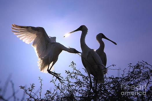 Hermanus A Alberts - Spoonbill Stork Flutter