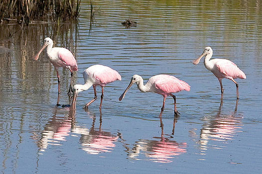 Terry Shoemaker - Spoonbills and Reflections