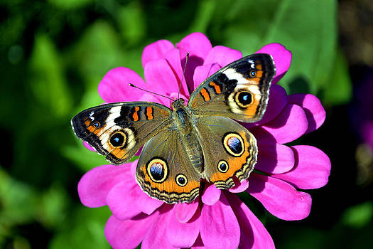 Spotted Butterfly on Pink Flower by Richelle Munzon