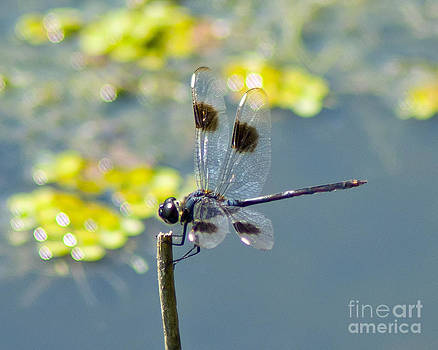 Stephen Whalen - Spotted Dragonfly