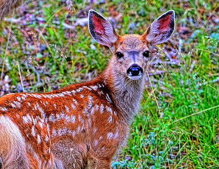 Spotted fawn by Jim Boardman