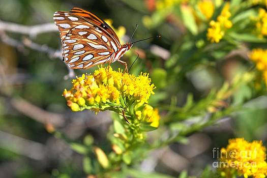 Adam Jewell - Spotted Gulf Fritillary