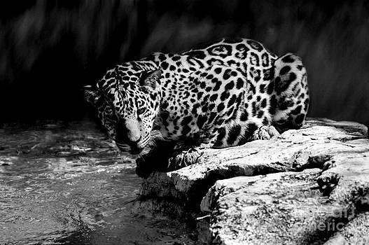 Lynn Palmer - Spotted Jaguar on Rock