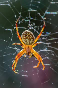 Spotted Orbweaver Spider in Sparkling Web by Steven Schwartzman