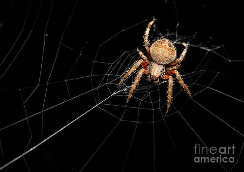 Spotted Orbweaver Spider by Sharon Dominick