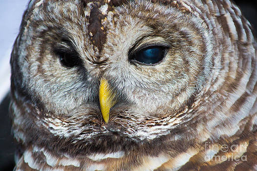Spotted Owl Portrait by Kimberly Blom-Roemer