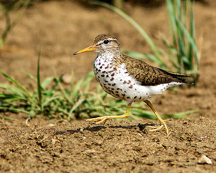 Spotted Sandpiper at Cherry Creek State Park by Stephen  Johnson