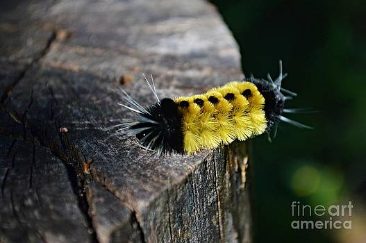 Spotted Tussock Moth Caterpillar by Sharon L Stacy