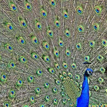 Peacock 4 by Alicia Zimmerman