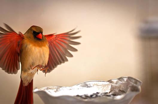 Randall Branham - Spread Wing Landing Cardinal