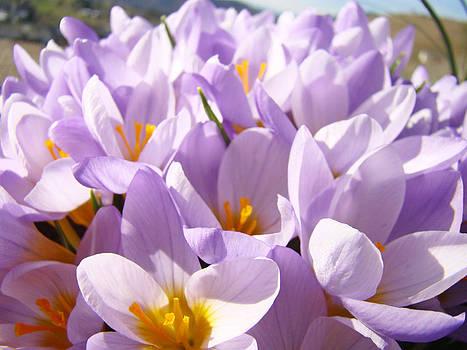 Baslee Troutman - Spring Art Lavender Crocus Flower Floral