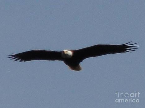 Spring Bald Eagles 2013 I by Daniel Henning