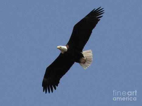Spring Bald Eagles 2013 II by Daniel Henning