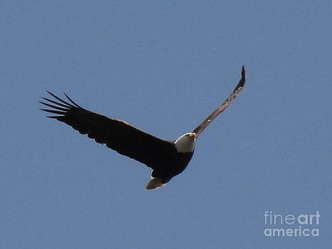 Spring Bald Eagles 2013 III by Daniel Henning