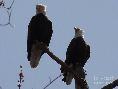 Spring Bald Eagles 2013 IV by Daniel Henning