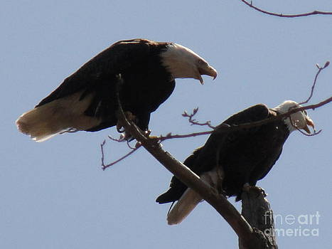 Spring Bald Eagles 2013 IX by Daniel Henning