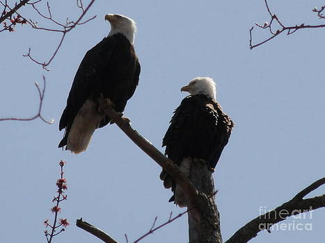 Spring Bald Eagles 2013 V by Daniel Henning