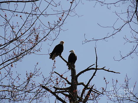 Spring Bald Eagles 2013 XVII by Daniel Henning
