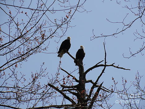 Spring Bald Eagles 2013 XVIII by Daniel Henning