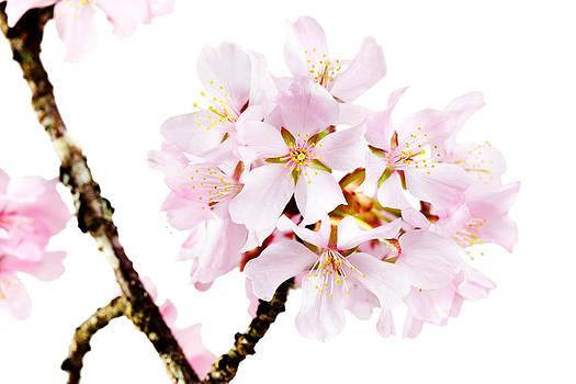 Jo Ann Snover - Spring beauty