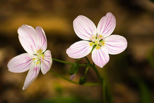 Spring Beauty by Thomas Pettengill